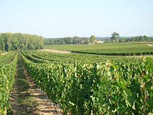 castenet-vines